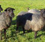 Naturprodukt ifrån fåren...